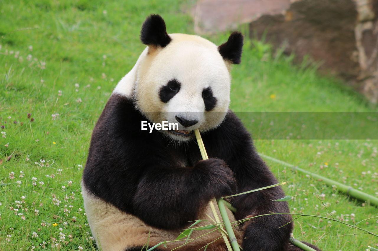 one animal, mammal, animals in the wild, animal themes, panda, grass, giant panda, panda - animal, day, no people, sitting, outdoors, nature, close-up