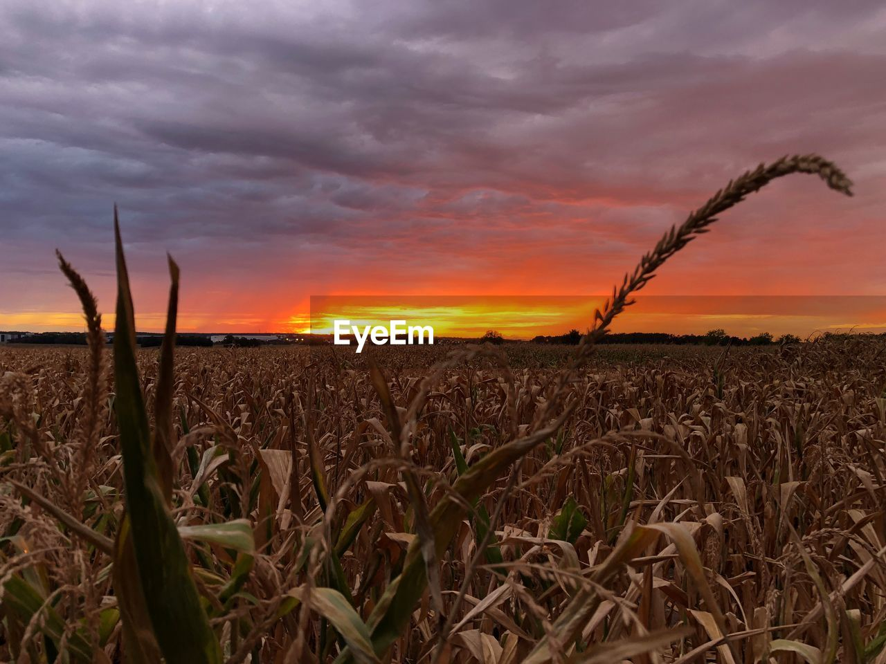 sky, cloud - sky, sunset, agriculture, crop, landscape, rural scene, field, plant, growth, beauty in nature, cereal plant, environment, tranquility, tranquil scene, scenics - nature, nature, farm, land, orange color, no people, outdoors, plantation