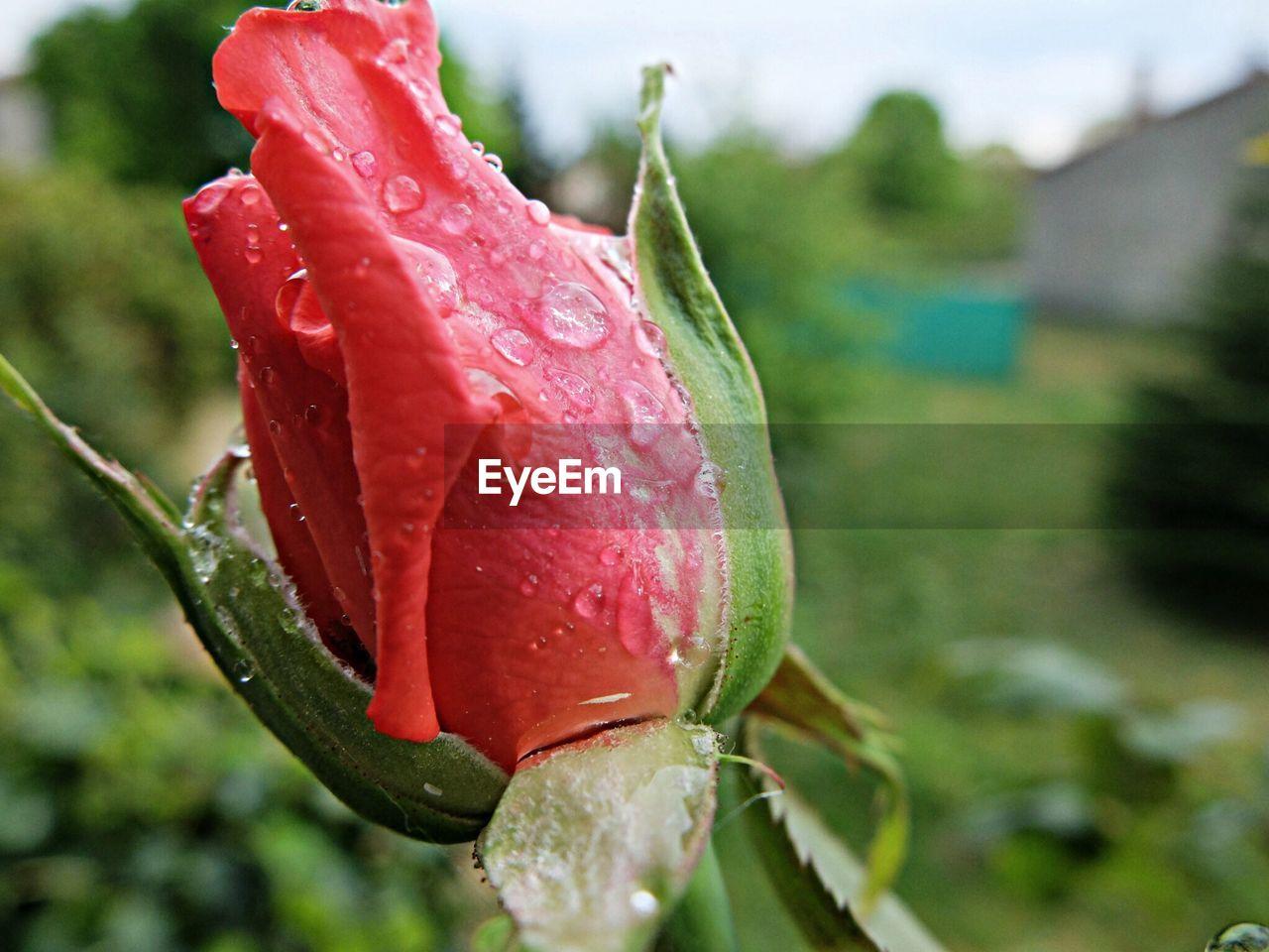 Close-up of rose flower on dew drop