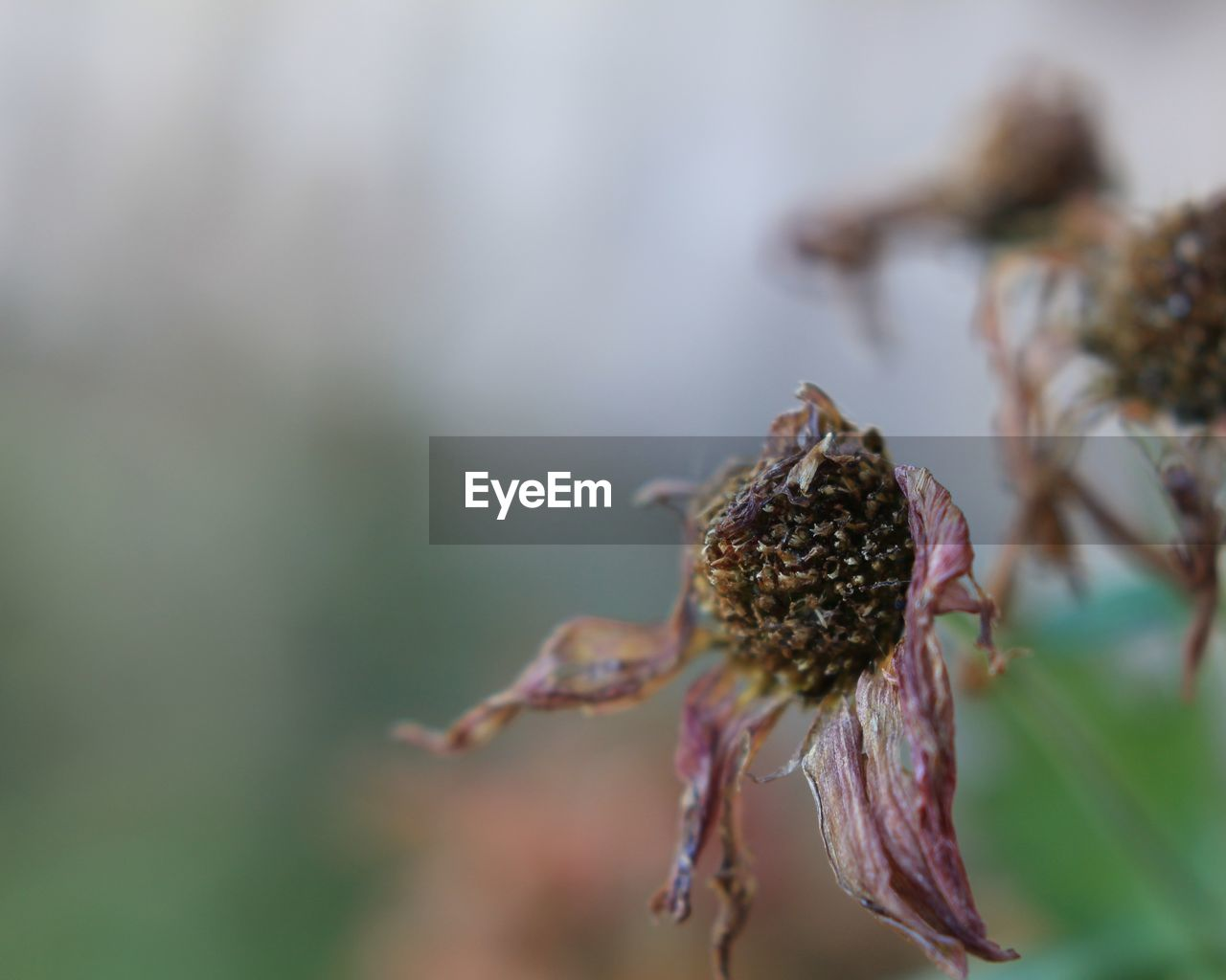 close-up, focus on foreground, plant, vulnerability, flower, fragility, flowering plant, selective focus, growth, beauty in nature, no people, nature, day, freshness, dry, outdoors, wilted plant, inflorescence, flower head, bud, dead plant, dried