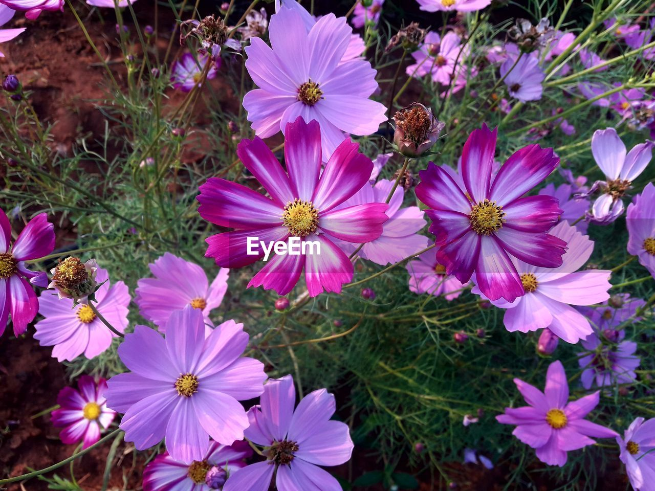 flower, growth, petal, nature, plant, fragility, beauty in nature, flower head, no people, field, freshness, high angle view, blooming, outdoors, day, close-up, grass, osteospermum
