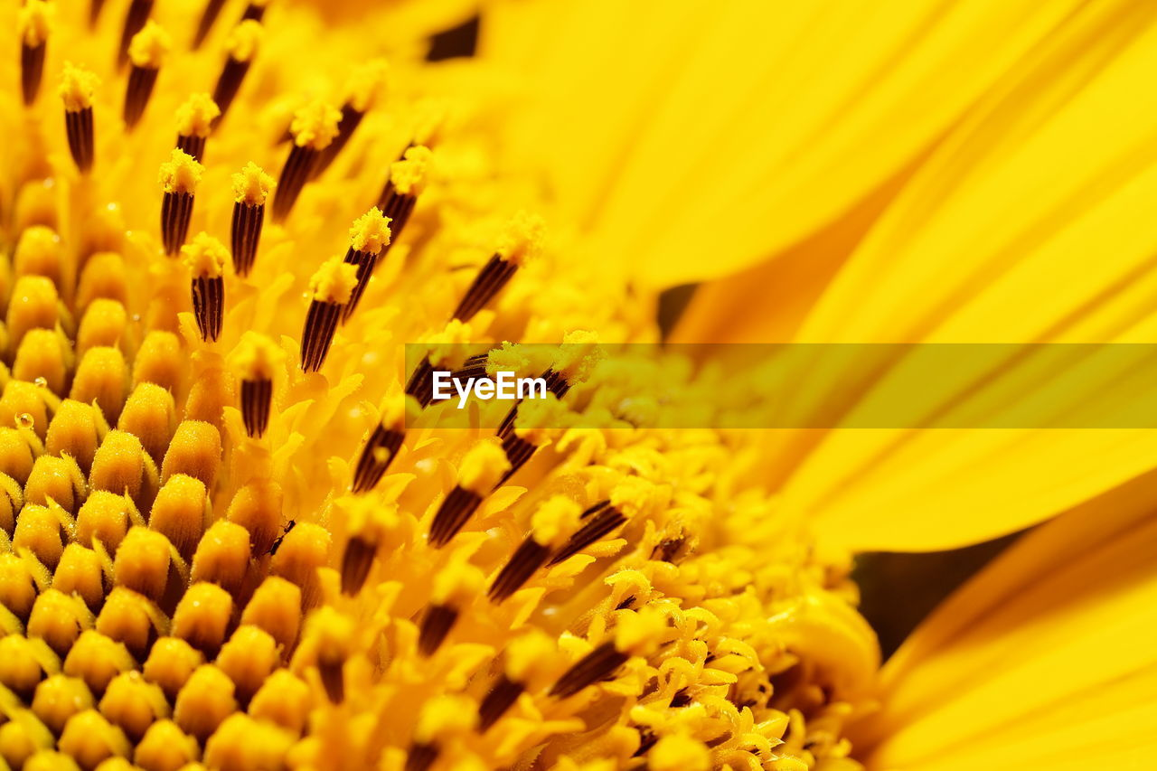 flower, yellow, fragility, beauty in nature, freshness, petal, nature, flower head, growth, selective focus, close-up, no people, pollen, full frame, backgrounds, sunflower, plant, day, outdoors, blooming