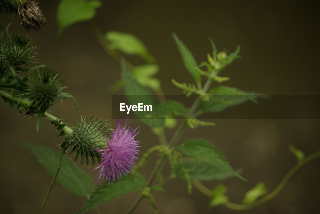 plant, growth, flower, flowering plant, beauty in nature, close-up, freshness, vulnerability, fragility, leaf, plant part, no people, green color, nature, selective focus, thistle, focus on foreground, flower head, inflorescence, day, outdoors, purple, spiky