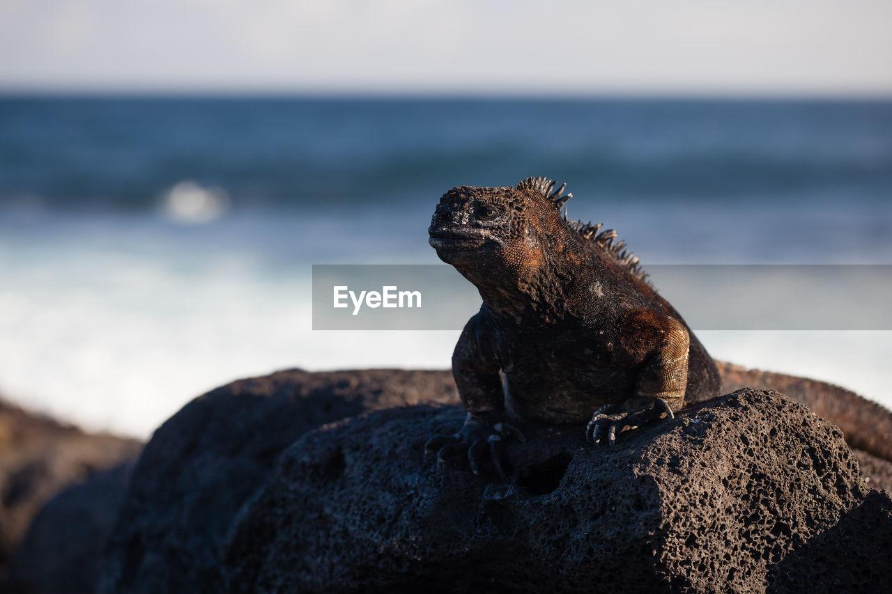 Lizard on rock at beach