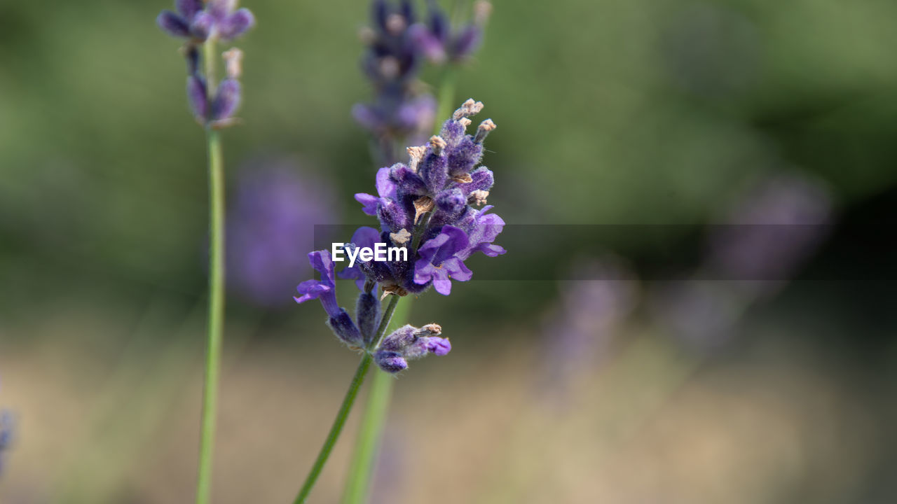 flowering plant, flower, vulnerability, purple, fragility, plant, freshness, beauty in nature, close-up, growth, lavender, focus on foreground, nature, petal, flower head, no people, inflorescence, plant stem, day, lavender colored, outdoors
