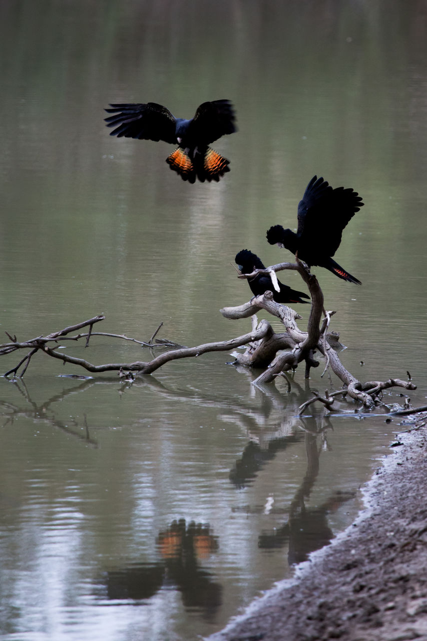 animals in the wild, animal wildlife, water, bird, animal themes, animal, vertebrate, lake, flying, no people, group of animals, day, nature, spread wings, waterfront, beauty in nature, reflection, outdoors