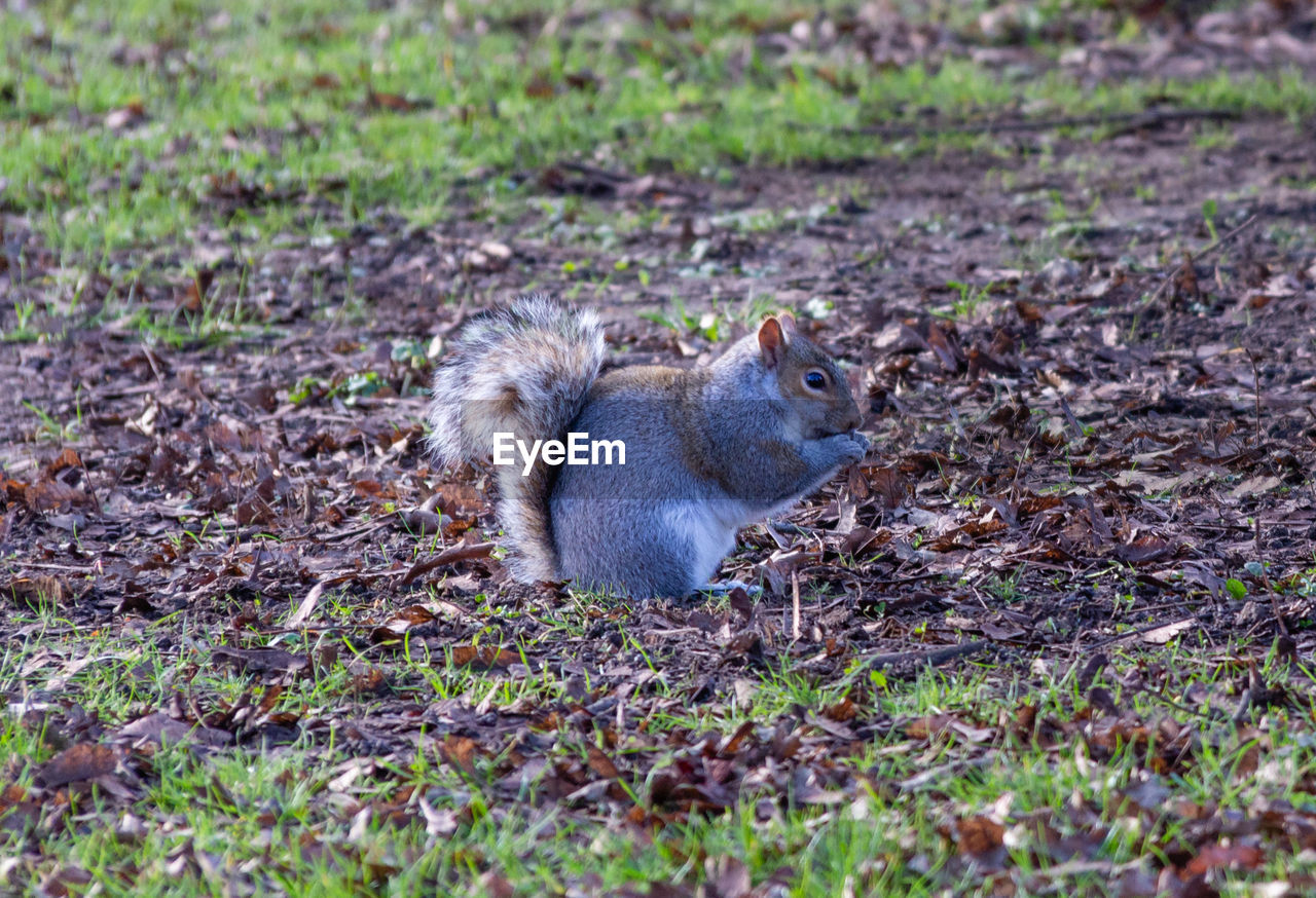 animal themes, animal wildlife, animal, animals in the wild, mammal, rodent, one animal, land, field, vertebrate, no people, squirrel, selective focus, day, nature, grass, plant, outdoors, side view, sitting
