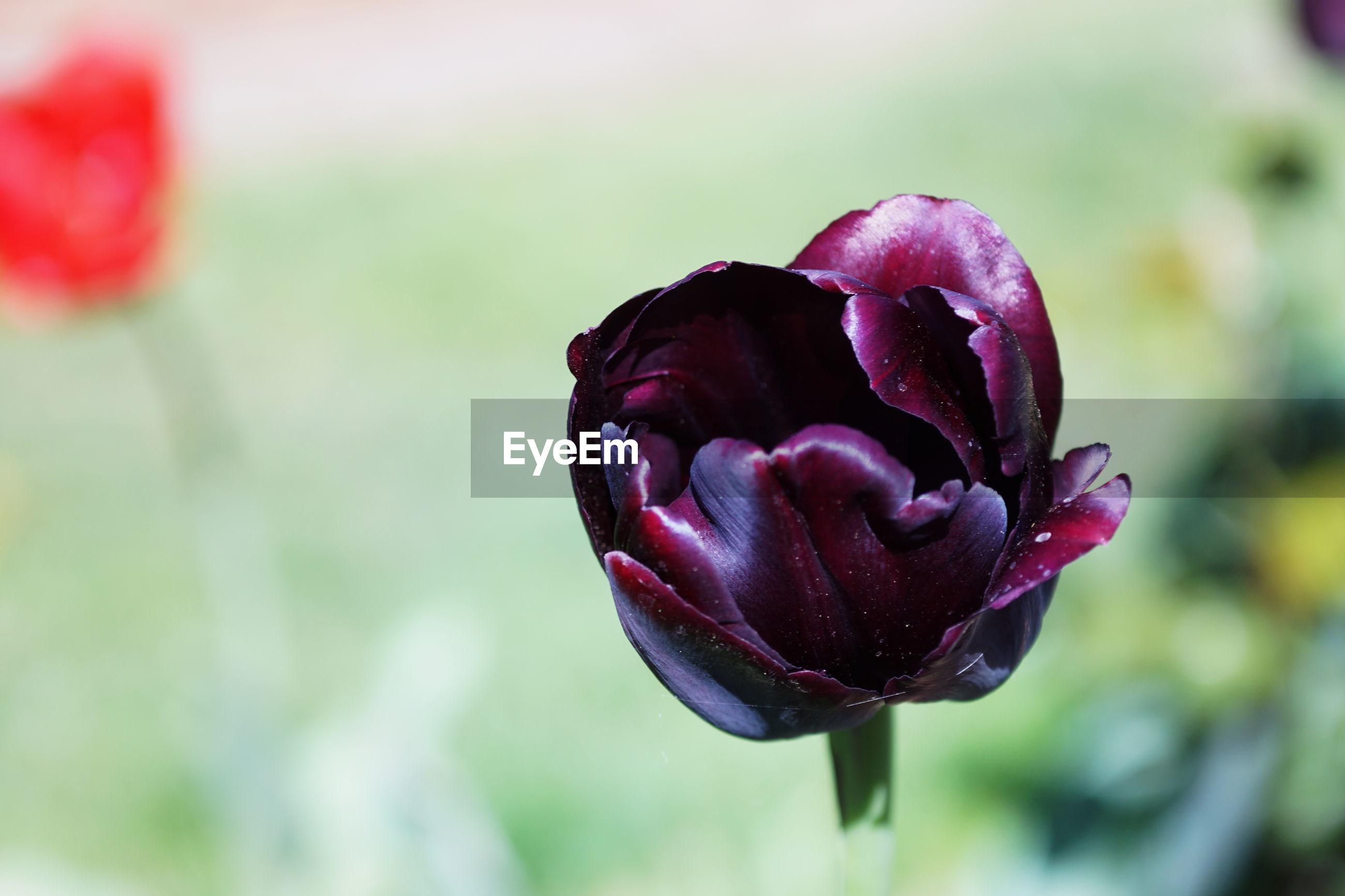 Tulpe bloosom