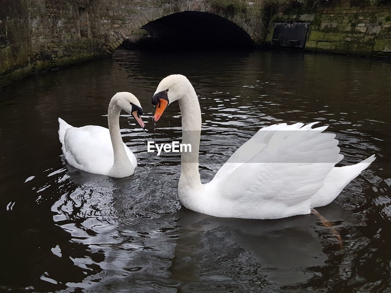 water, animals in the wild, bird, swan, lake, animal wildlife, animal themes, vertebrate, animal, group of animals, swimming, white color, water bird, waterfront, nature, no people, day, zoology, togetherness, floating on water, animal family, cygnet, animal neck