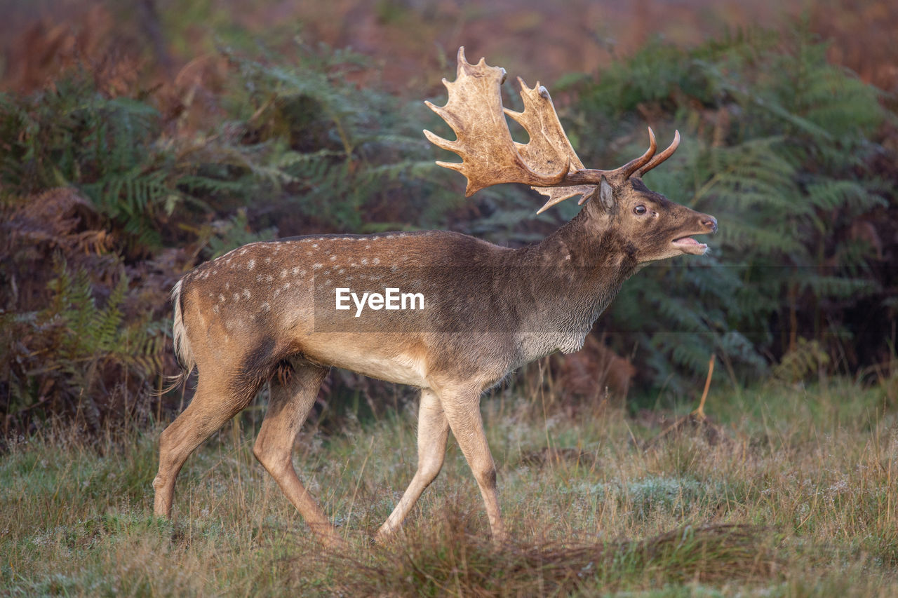 Deer standing on land