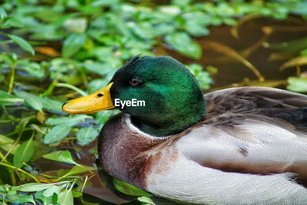 Close-up of mallard duck in pond