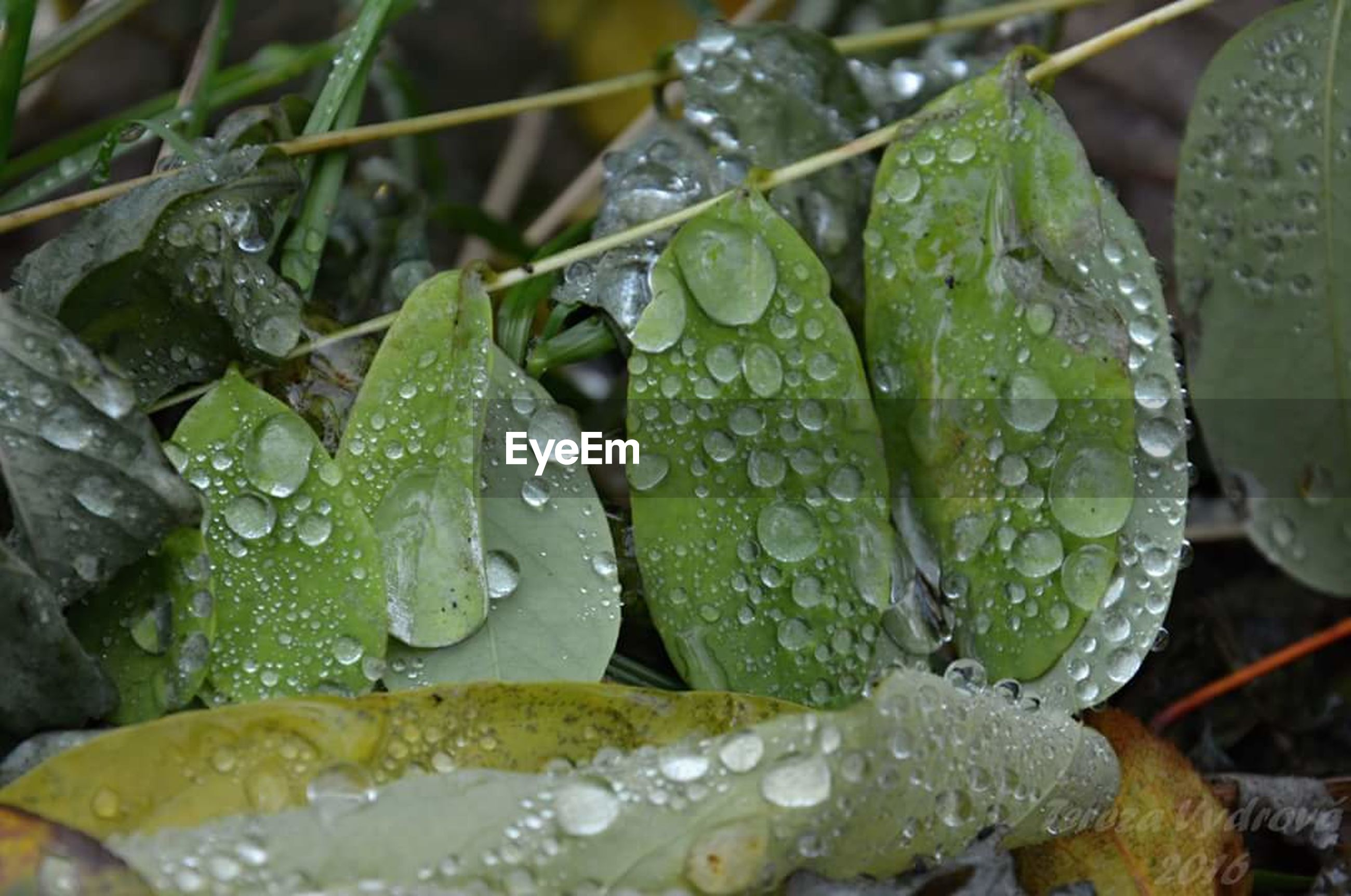 drop, wet, water, leaf, dew, rain, nature, green color, raindrop, close-up, freshness, purity, beauty in nature, rainy season, plant, growth, weather, fragility, no people, water drop, outdoors, droplet, day