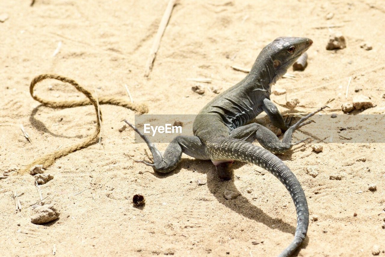 animal, animal themes, animal wildlife, animals in the wild, reptile, one animal, vertebrate, lizard, sand, land, nature, high angle view, no people, beach, iguana, day, sunlight, full length, outdoors, black color