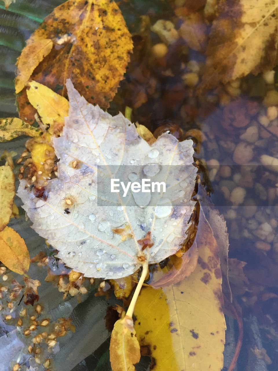 leaf, nature, fragility, beauty in nature, autumn, water, close-up, day, no people, outdoors, growth, flower, freshness, flower head