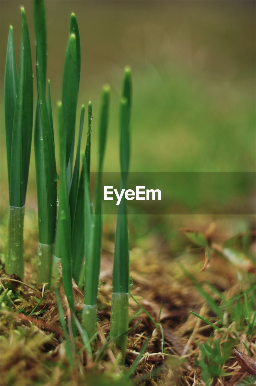 growth, green color, plant, field, land, selective focus, beauty in nature, close-up, nature, no people, day, tranquility, grass, outdoors, plant part, leaf, focus on foreground, landscape, freshness, blade of grass