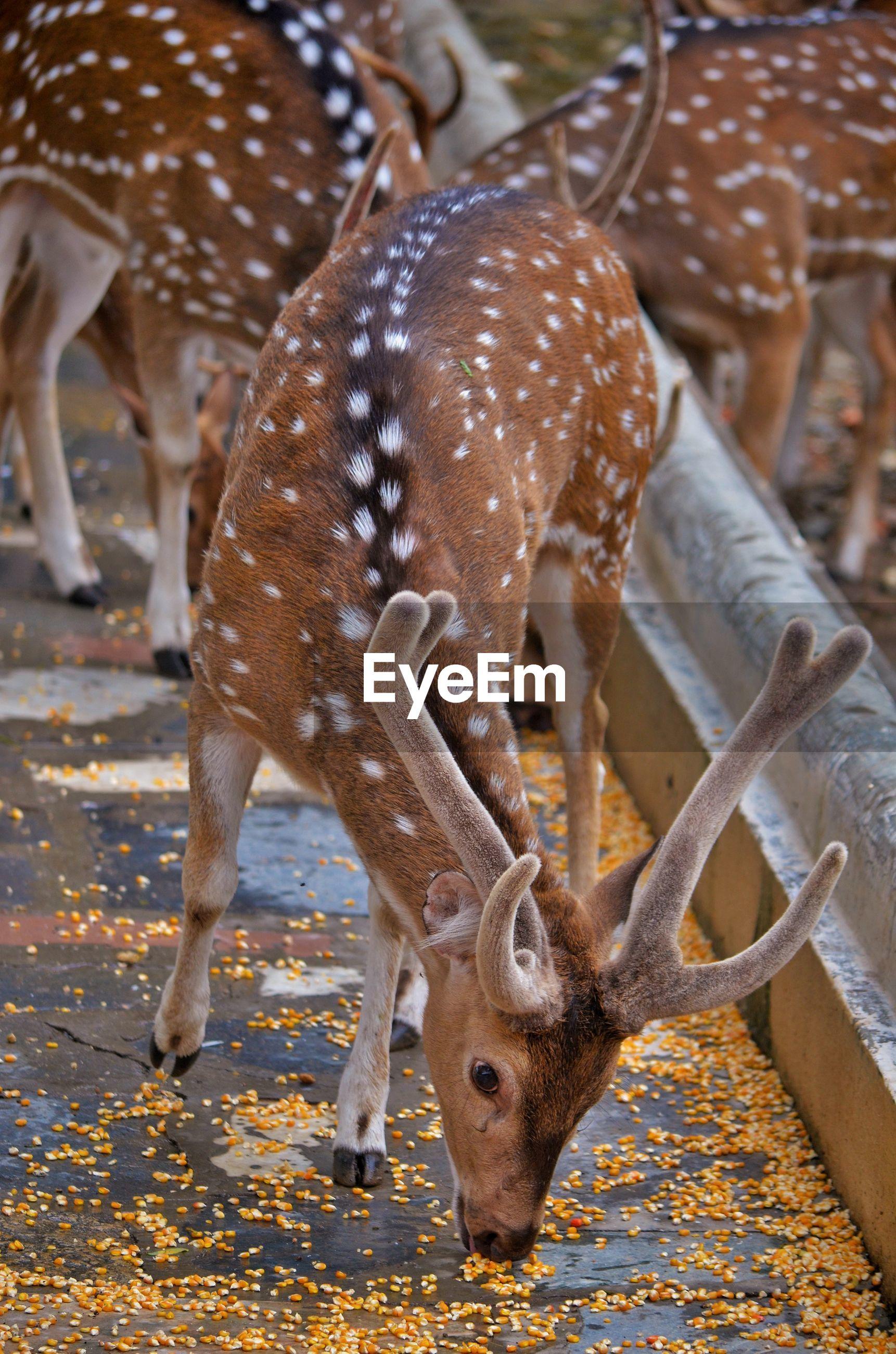 Deer standing at zoo