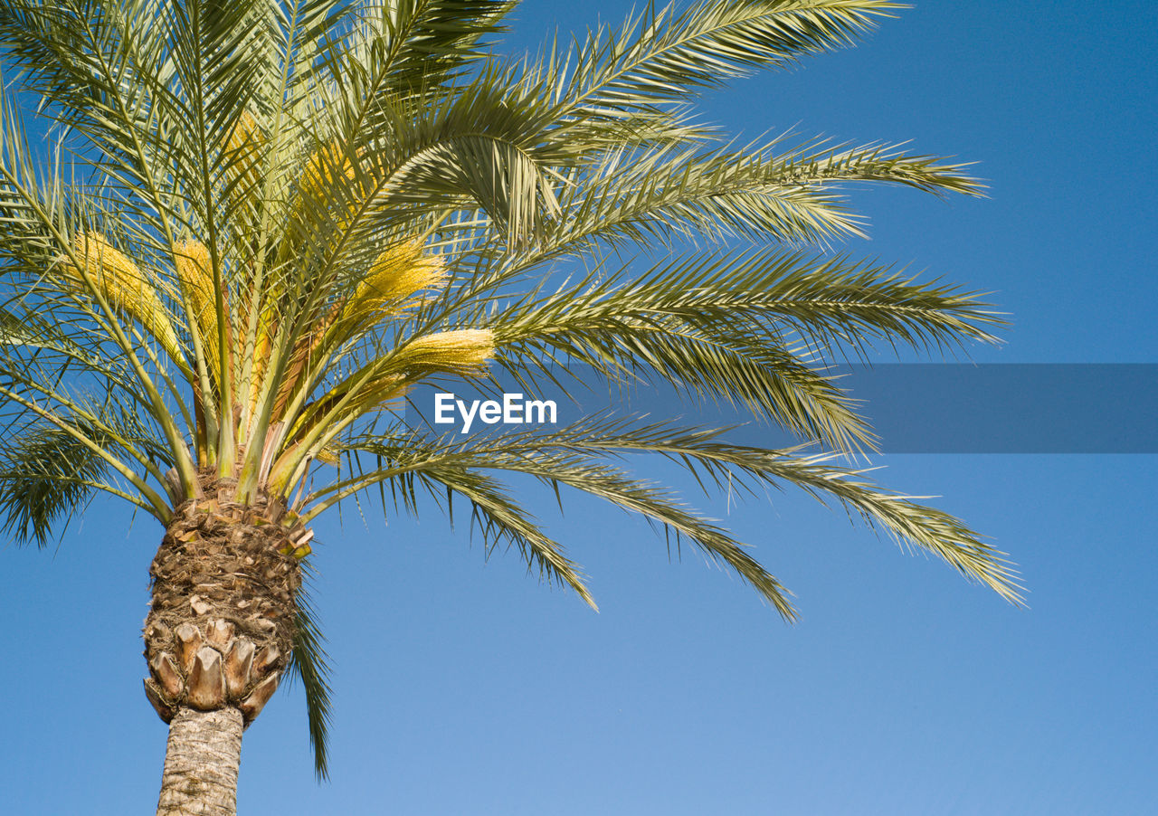 palm tree, low angle view, tree, blue, growth, clear sky, day, sky, no people, outdoors, nature, agriculture, close-up