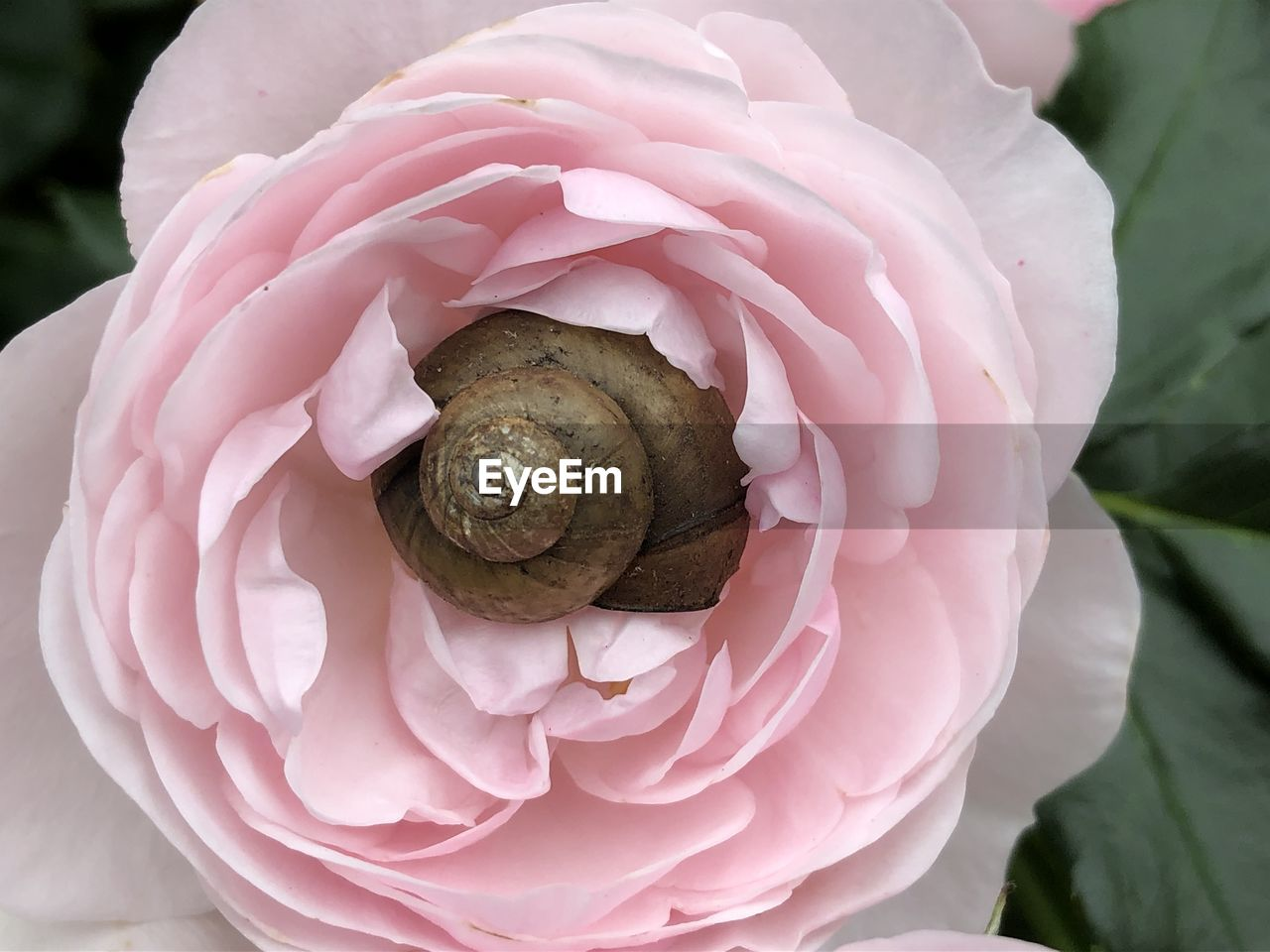 flower, close-up, flowering plant, beauty in nature, petal, plant, vulnerability, fragility, animal, animal wildlife, invertebrate, pink color, animal themes, gastropod, animals in the wild, one animal, mollusk, freshness, snail, shell, flower head, no people
