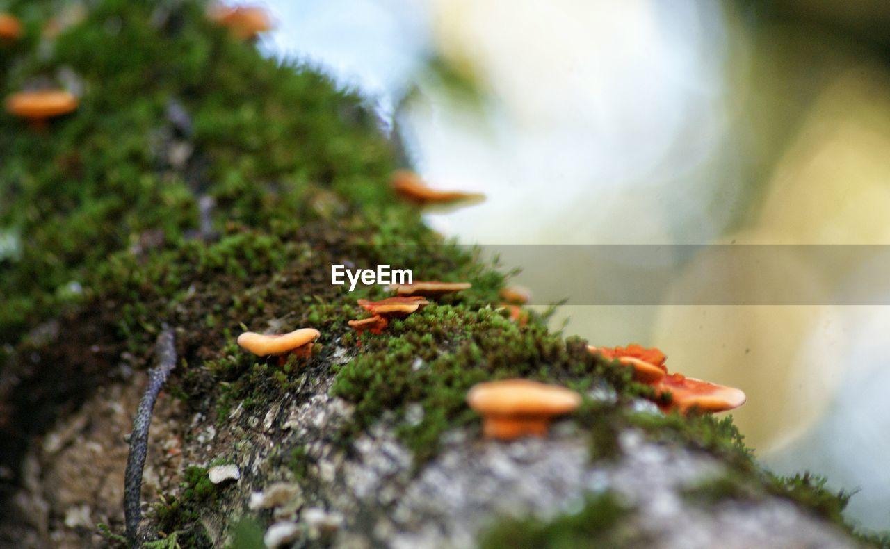 Close-up of orange mushrooms growing on tree trunk