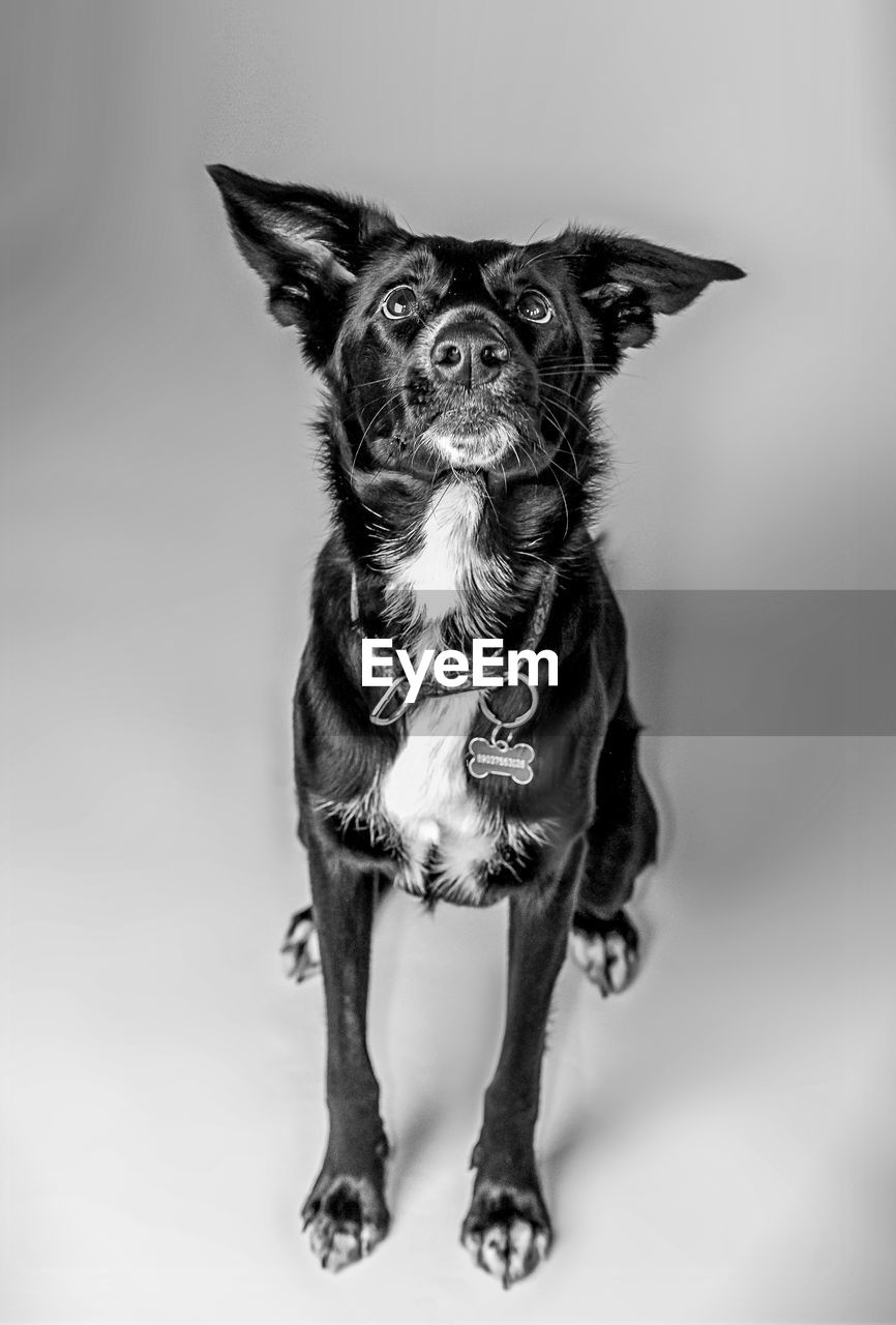 pets, dog, studio shot, cute, sitting, portrait, domestic animals, one animal, white background, looking at camera, animal themes, full length, mammal, standing, no people, indoors, close-up