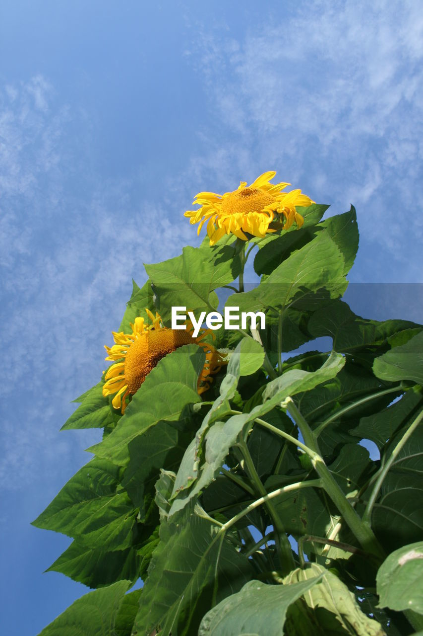 flower, fragility, petal, freshness, leaf, yellow, beauty in nature, growth, flower head, nature, green color, no people, outdoors, day, blooming, plant, sunflower, sky, close-up, low angle view