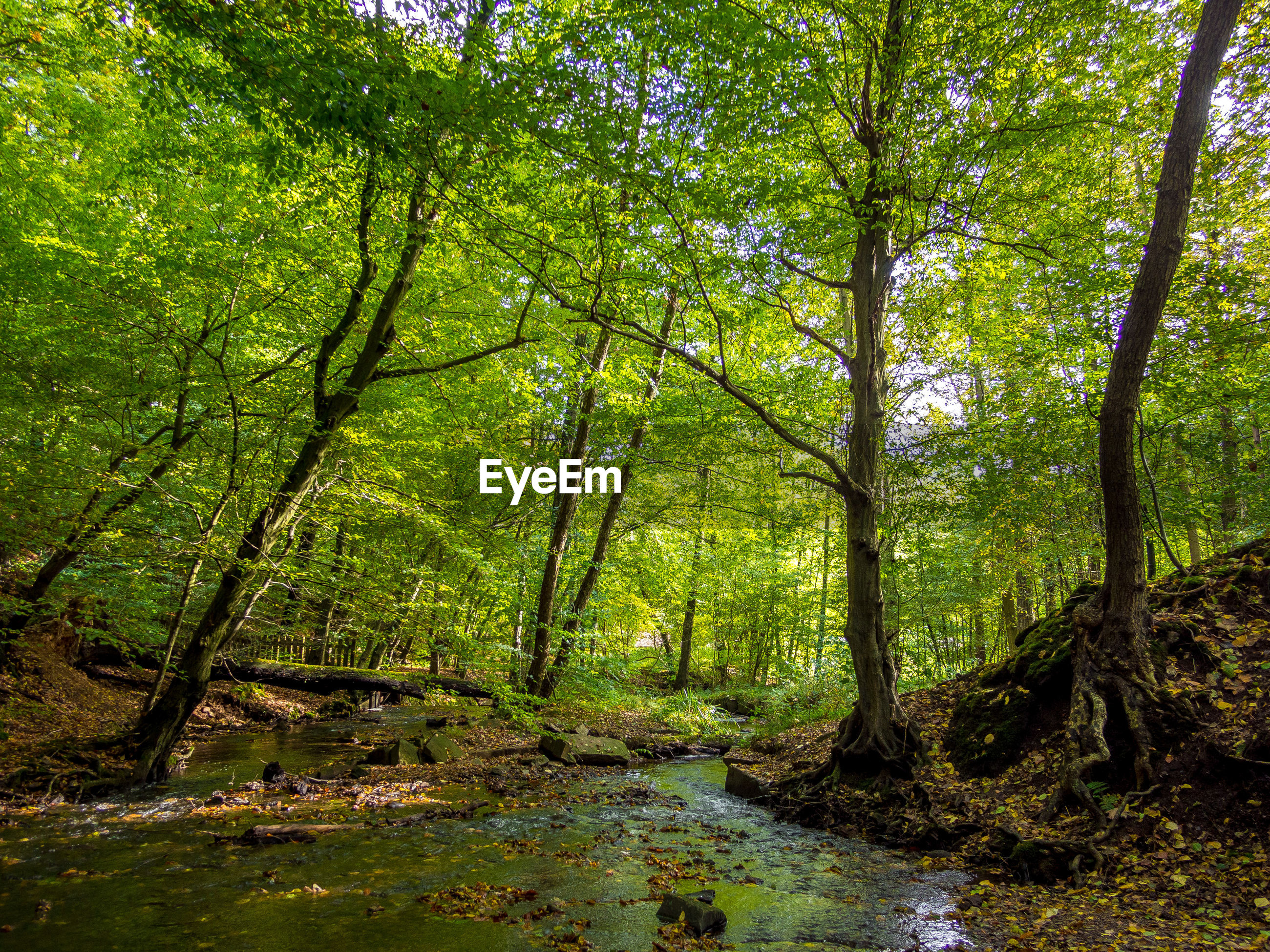 tree, forest, plant, land, water, tranquility, beauty in nature, scenics - nature, nature, woodland, growth, no people, tranquil scene, environment, day, green color, foliage, lush foliage, non-urban scene, outdoors, stream - flowing water, swamp, rainforest, flowing water