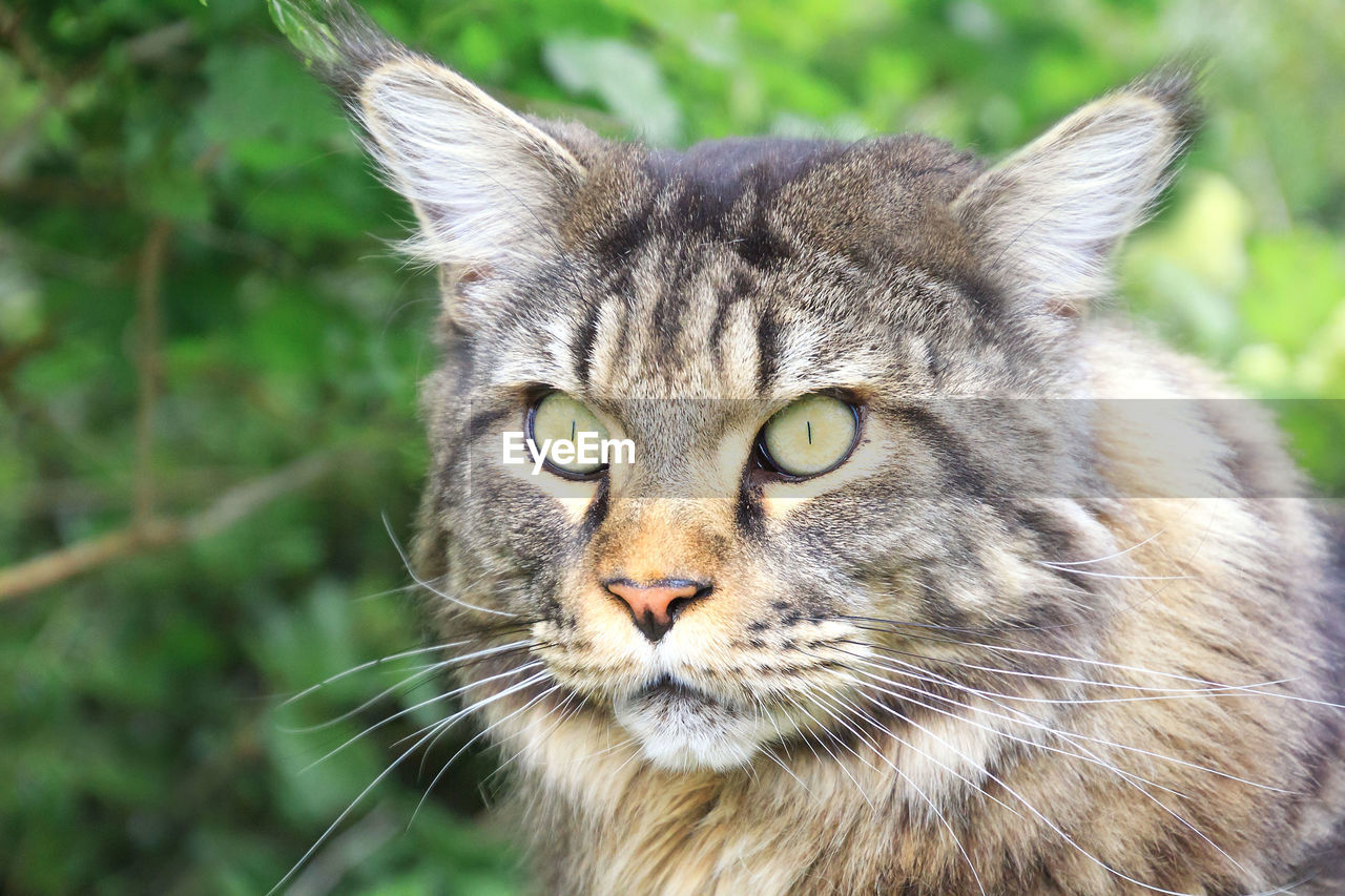 one animal, animal themes, animal, mammal, cat, feline, portrait, pets, close-up, vertebrate, domestic animals, domestic cat, whisker, focus on foreground, domestic, day, no people, animal body part, looking at camera, animal head, yellow eyes, animal eye