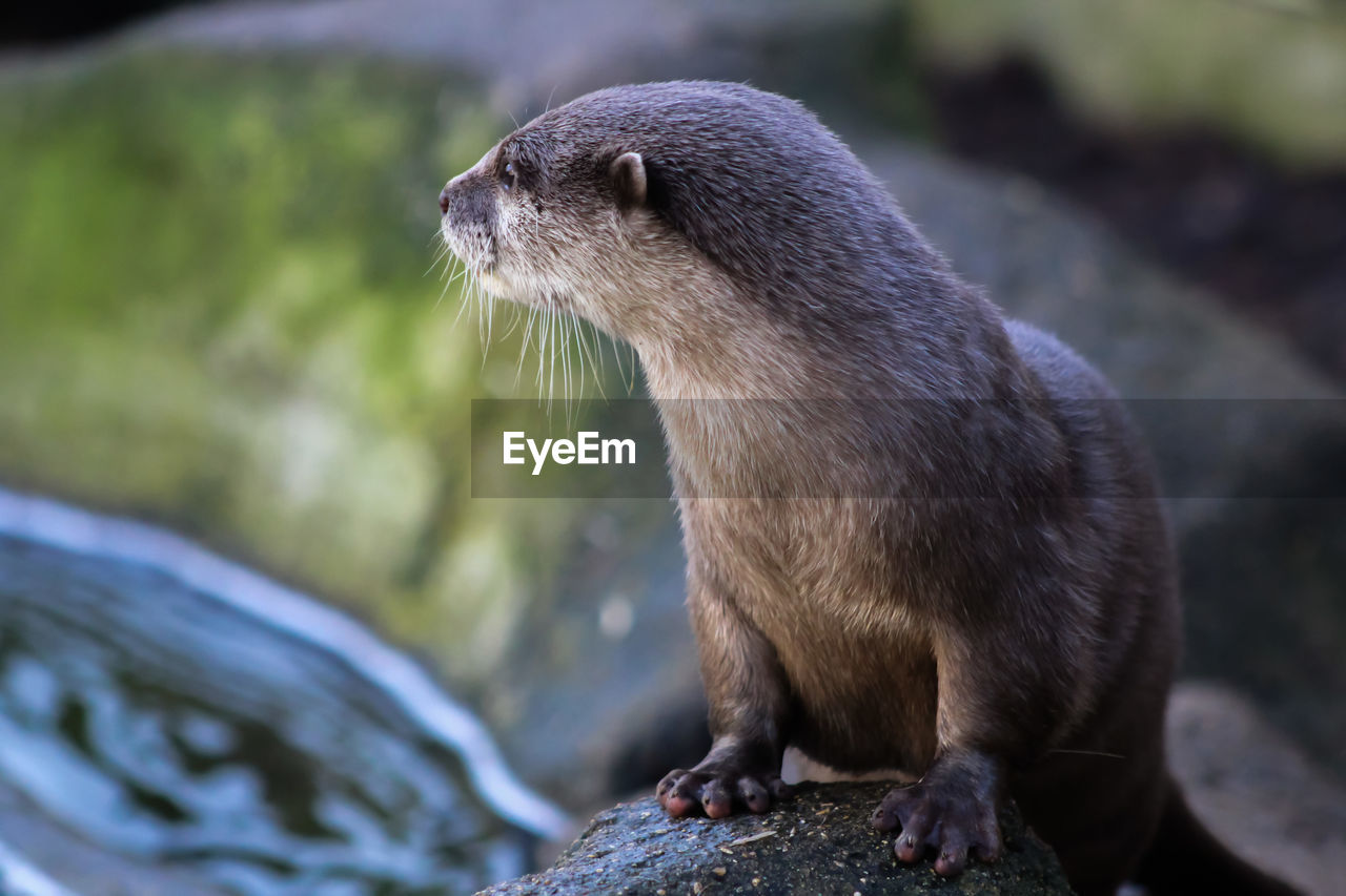 animal themes, animal, animal wildlife, one animal, animals in the wild, mammal, vertebrate, no people, focus on foreground, day, looking, solid, looking away, rock, close-up, nature, outdoors, rock - object, otter, underwater