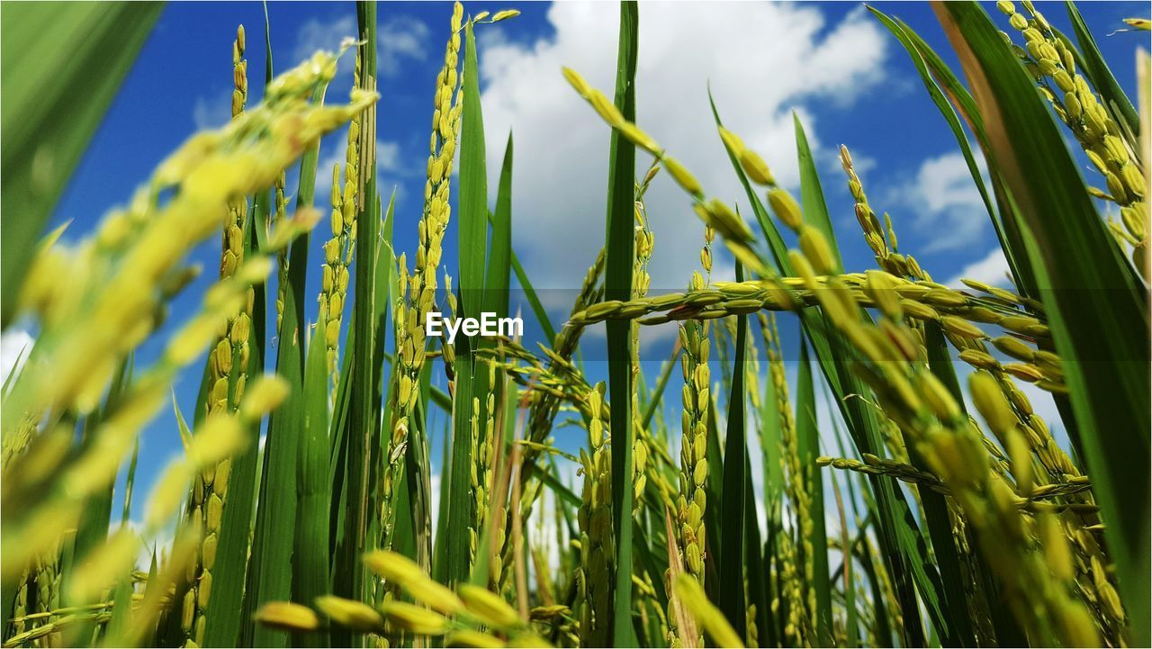 Low Angle View Of Crops Growing Against Sky