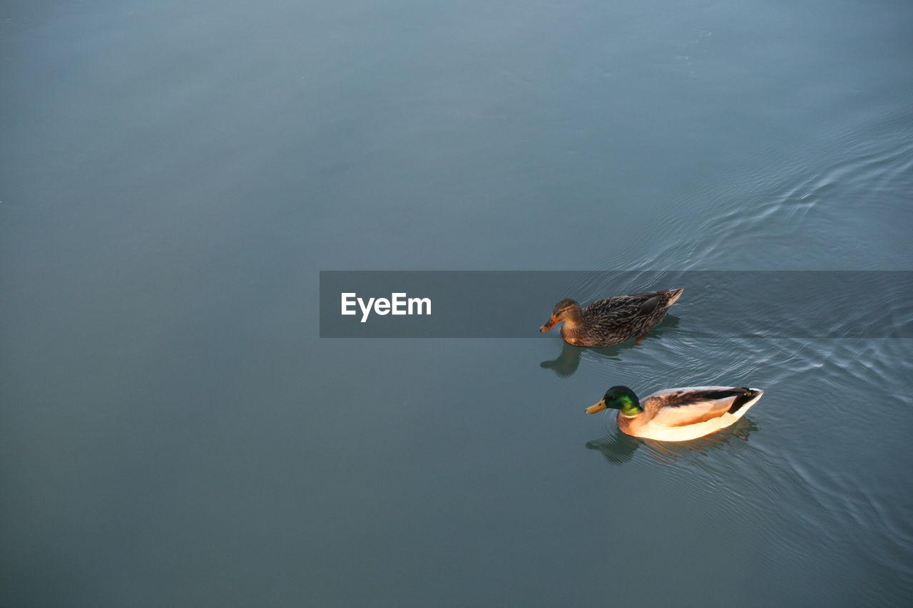 Ducks Swimming In River