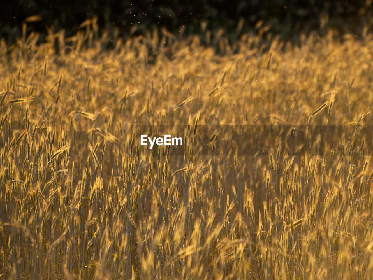 field, crop, agriculture, land, growth, rural scene, plant, cereal plant, landscape, beauty in nature, farm, no people, wheat, tranquility, nature, backgrounds, day, full frame, gold colored, selective focus, outdoors, stalk