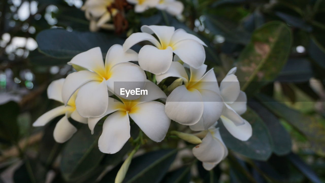 plant, flowering plant, flower, fragility, vulnerability, beauty in nature, freshness, growth, flower head, petal, close-up, inflorescence, white color, nature, focus on foreground, day, no people, frangipani, outdoors, botany
