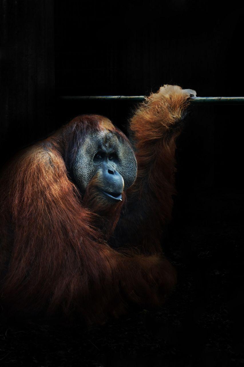 Close-Up Of Orangutan In Cage