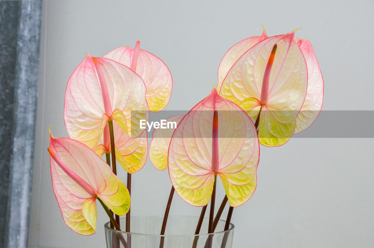 flower, close-up, flowering plant, freshness, petal, plant, vulnerability, no people, beauty in nature, fragility, inflorescence, flower head, indoors, nature, yellow, pink color, growth, studio shot, wall - building feature, plant stem