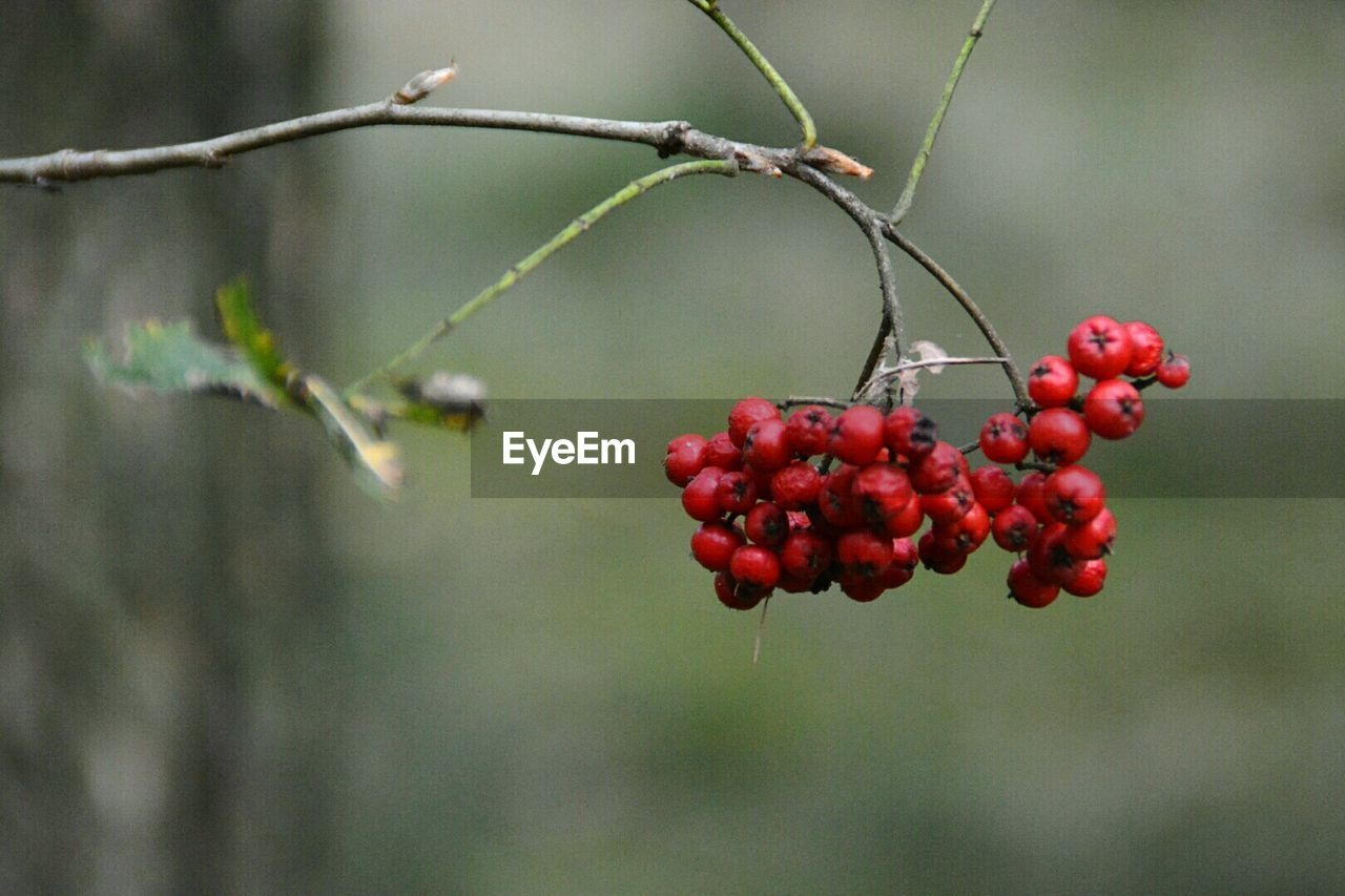 fruit, red, food and drink, focus on foreground, growth, outdoors, day, no people, nature, rowanberry, rose hip, tree, close-up, food, plant, beauty in nature, freshness, healthy eating, branch