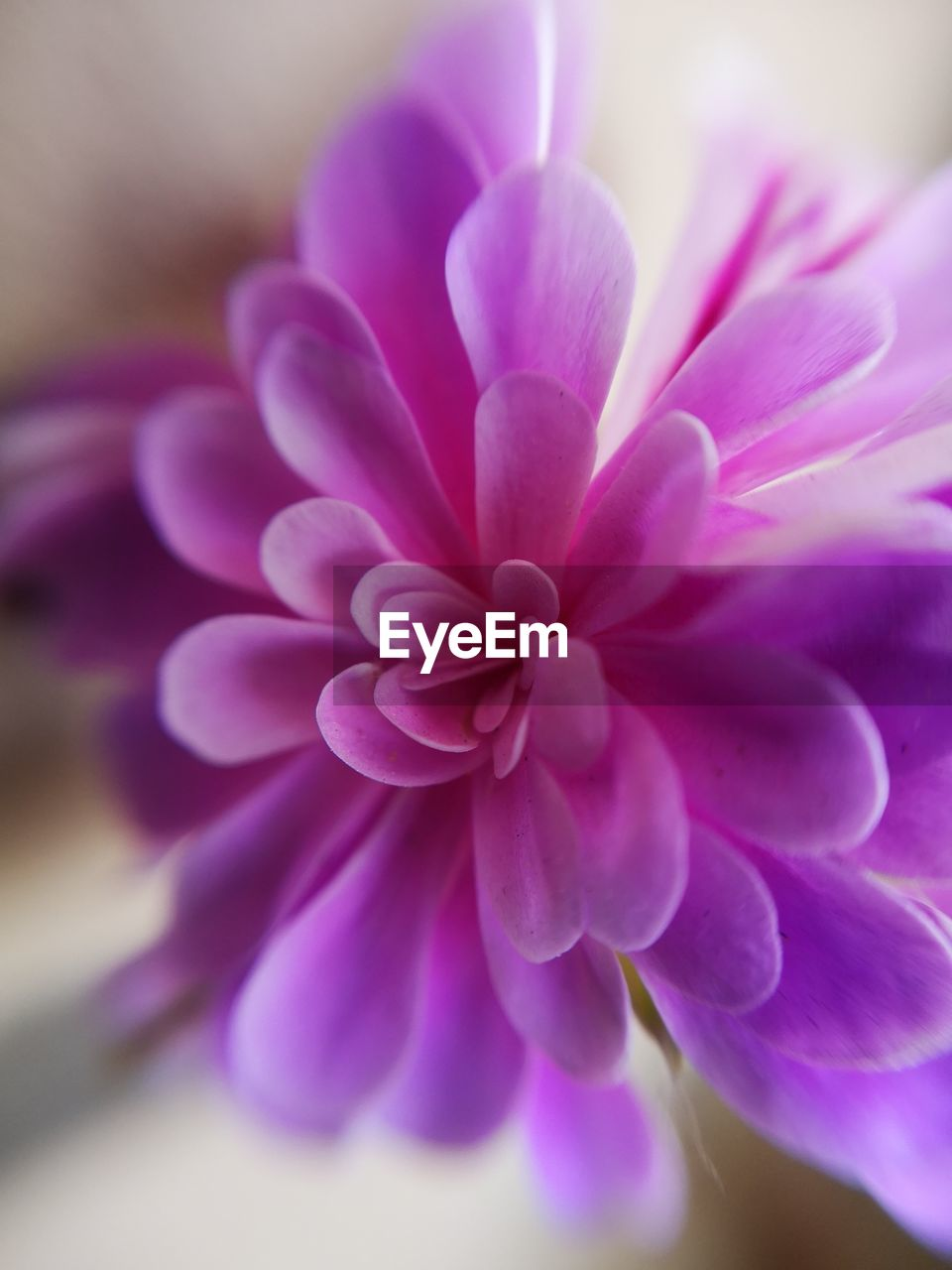 flower, flowering plant, plant, beauty in nature, close-up, fragility, vulnerability, petal, freshness, pink color, inflorescence, growth, purple, flower head, selective focus, nature, no people, focus on foreground, day