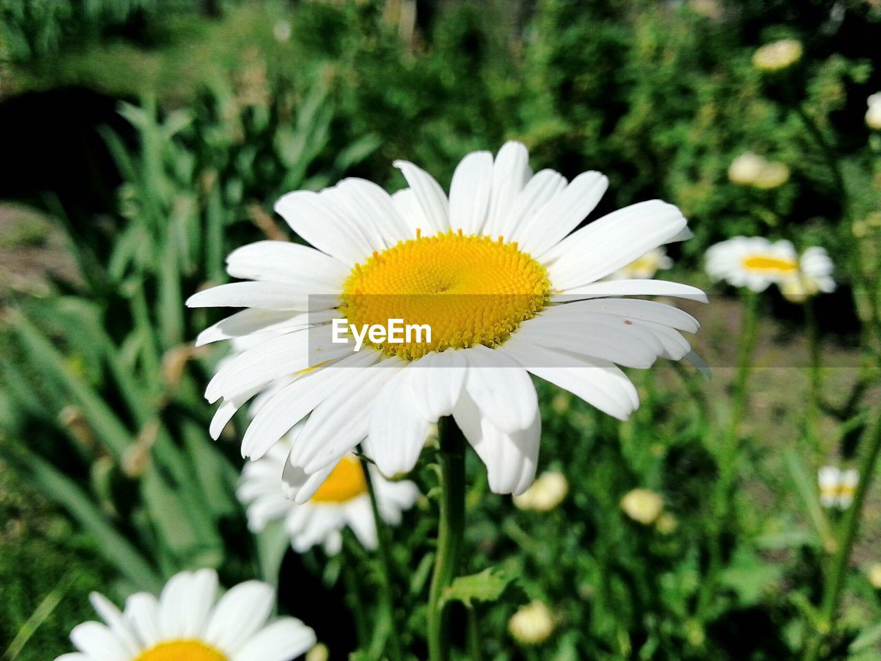 flower, petal, growth, flower head, nature, white color, fragility, blooming, plant, freshness, daisy, beauty in nature, pollen, focus on foreground, yellow, close-up, field, no people, outdoors, day