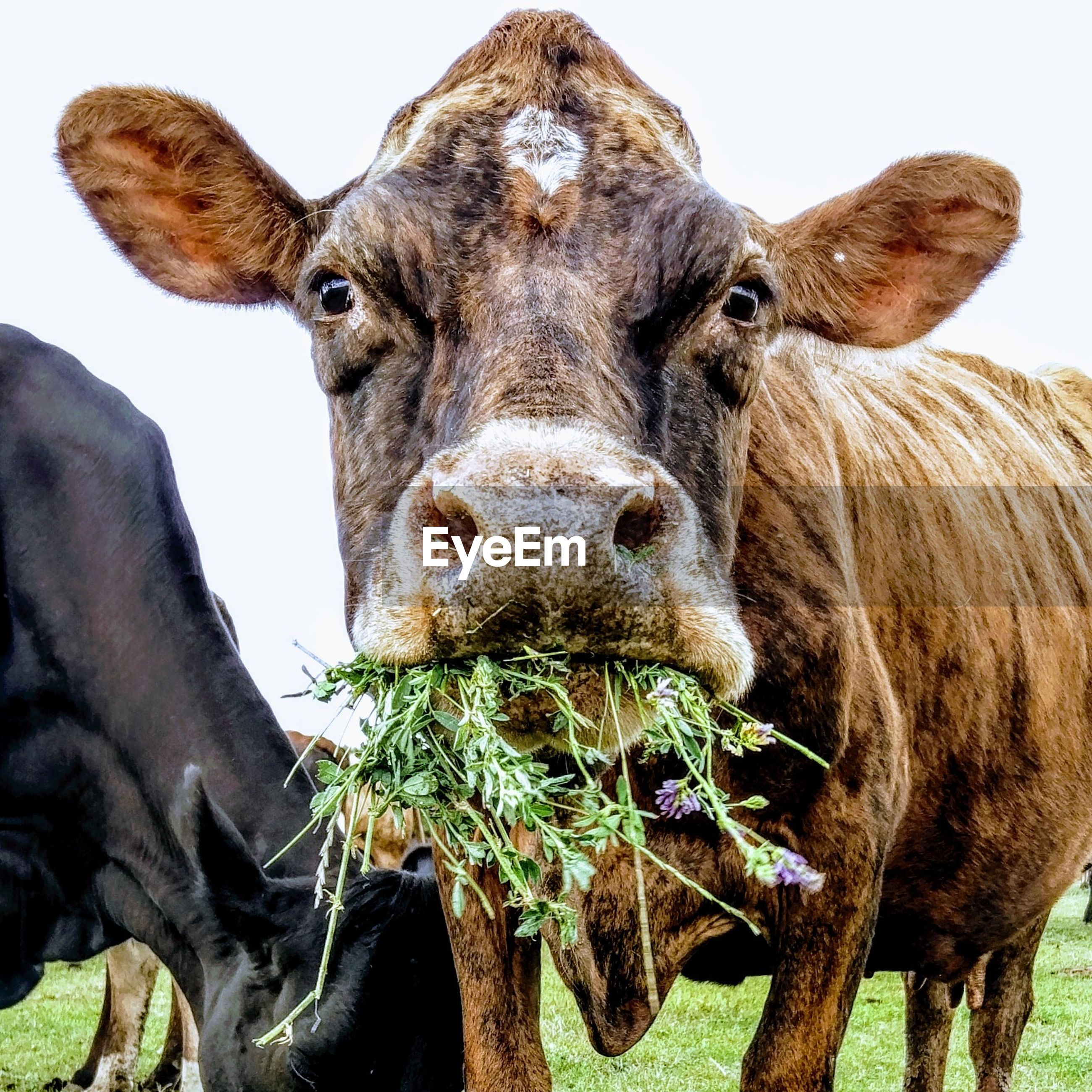 Reba the red cow eating lucerne
