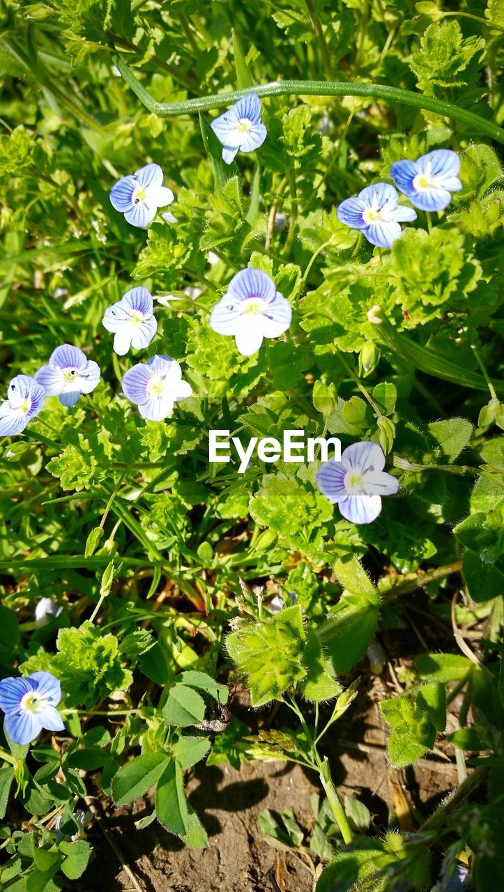 plant, growth, flowering plant, flower, beauty in nature, freshness, vulnerability, fragility, leaf, plant part, petal, close-up, day, flower head, green color, nature, no people, inflorescence, high angle view, outdoors, springtime, purple