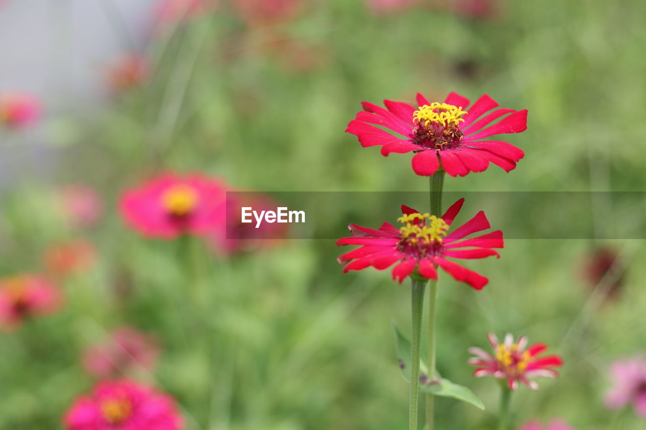 flowering plant, flower, plant, freshness, fragility, vulnerability, petal, beauty in nature, growth, flower head, inflorescence, pink color, close-up, focus on foreground, nature, zinnia, day, no people, red, pollen, outdoors