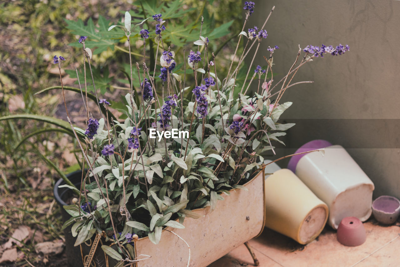 plant, flower, growth, nature, no people, flowering plant, potted plant, close-up, beauty in nature, day, freshness, purple, high angle view, green color, outdoors, vulnerability, plant part, lavender, container, botany, gardening, flower pot