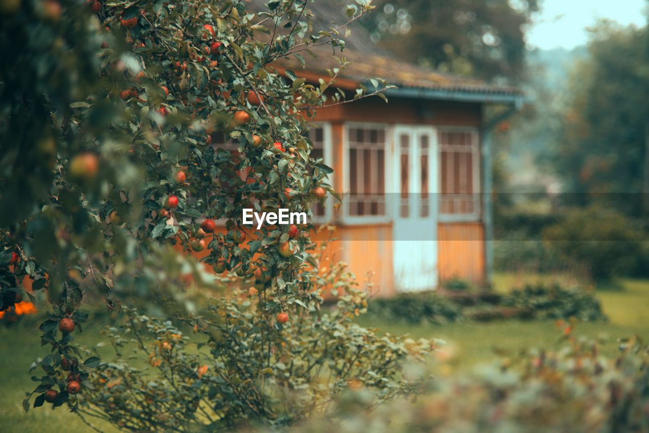 plant, tree, growth, building exterior, built structure, architecture, nature, selective focus, no people, building, house, day, outdoors, fruit, plant part, leaf, food and drink, food, beauty in nature, window