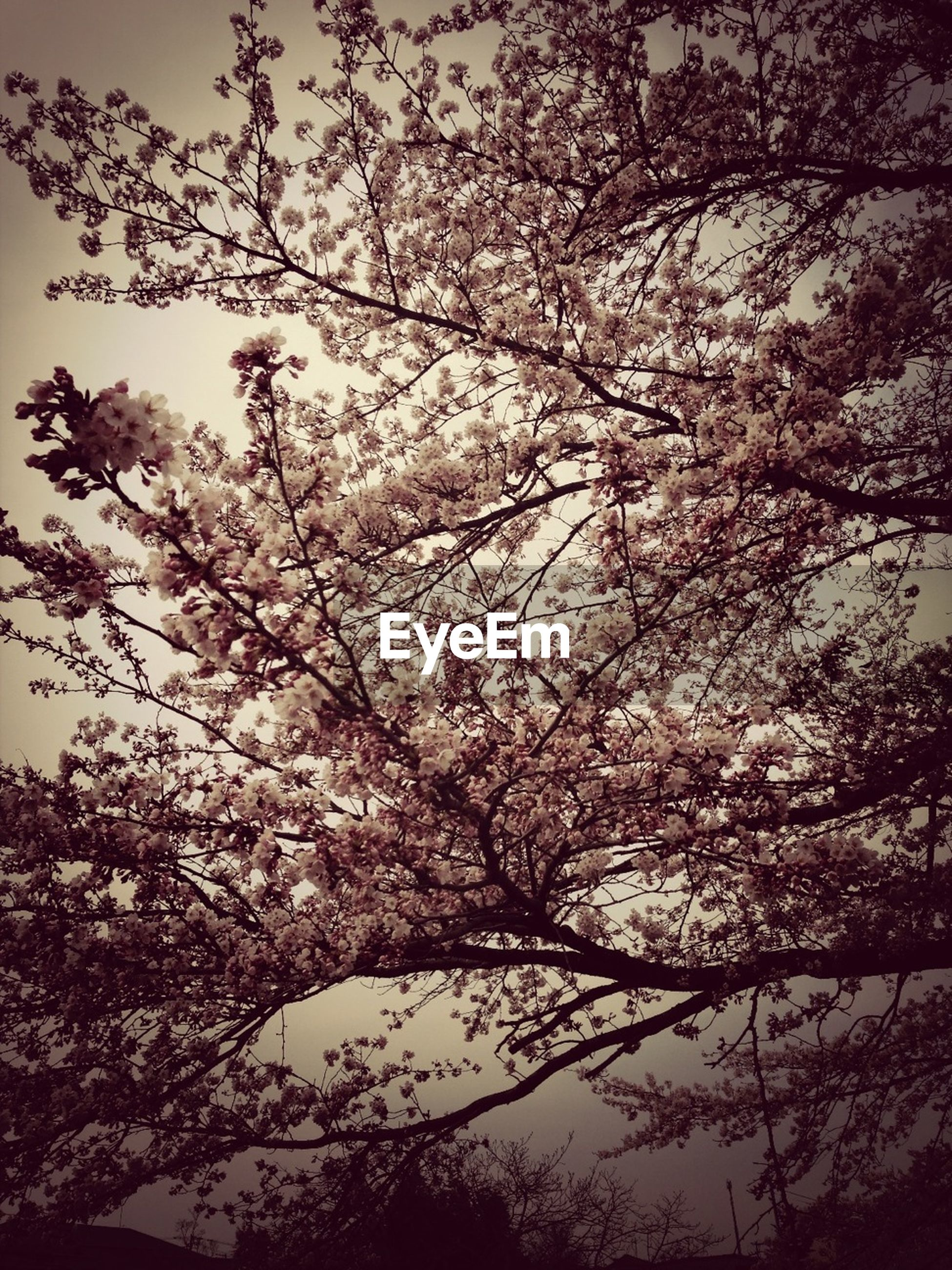tree, branch, low angle view, growth, flower, beauty in nature, nature, freshness, sky, blossom, cherry blossom, fragility, silhouette, clear sky, cherry tree, tranquility, outdoors, no people, springtime, day