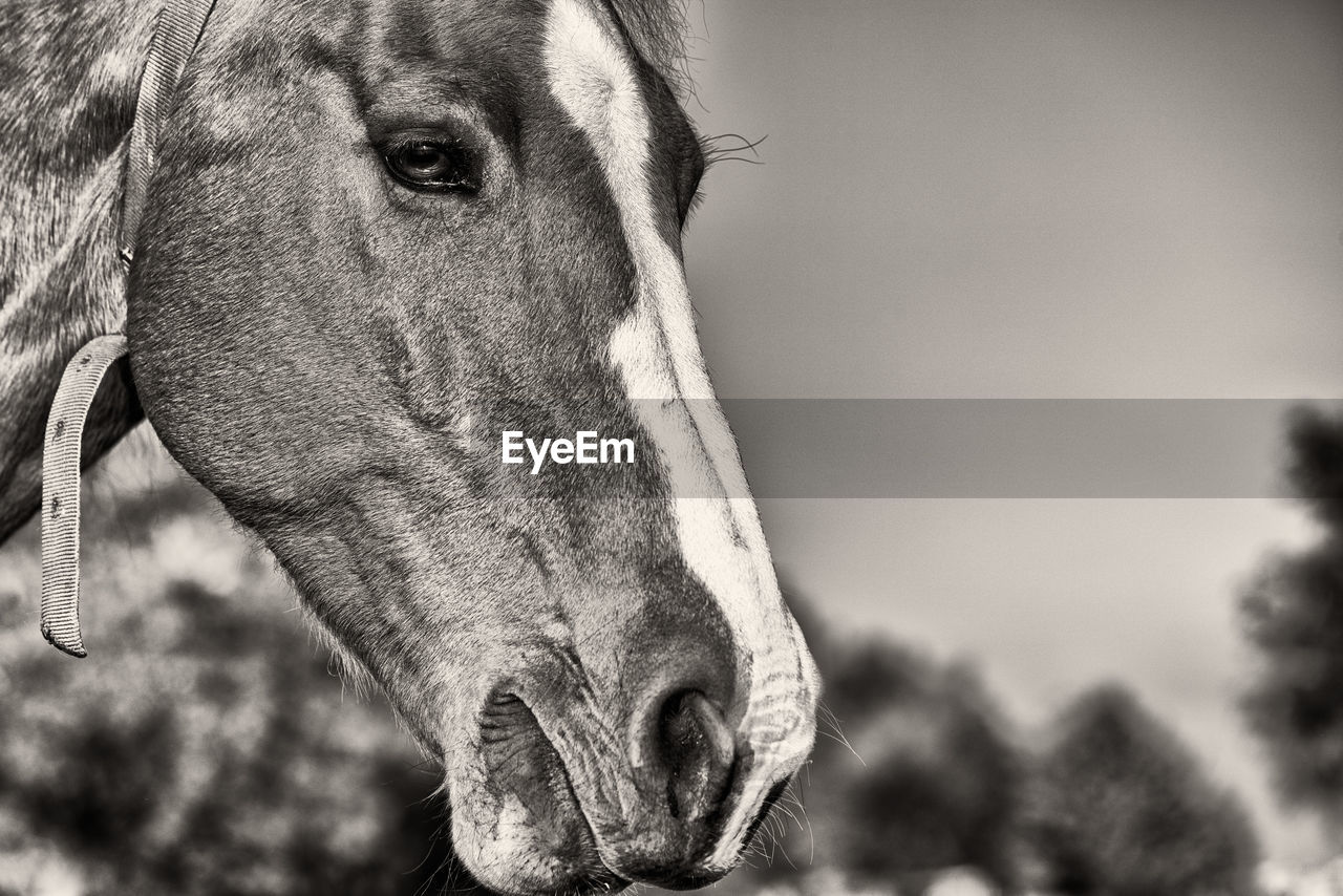 mammal, animal themes, one animal, domestic animals, animal, domestic, focus on foreground, pets, animal body part, close-up, vertebrate, animal head, portrait, day, livestock, no people, looking at camera, horse, canine, outdoors, herbivorous, animal eye, animal nose, snout, animal mouth, weimaraner