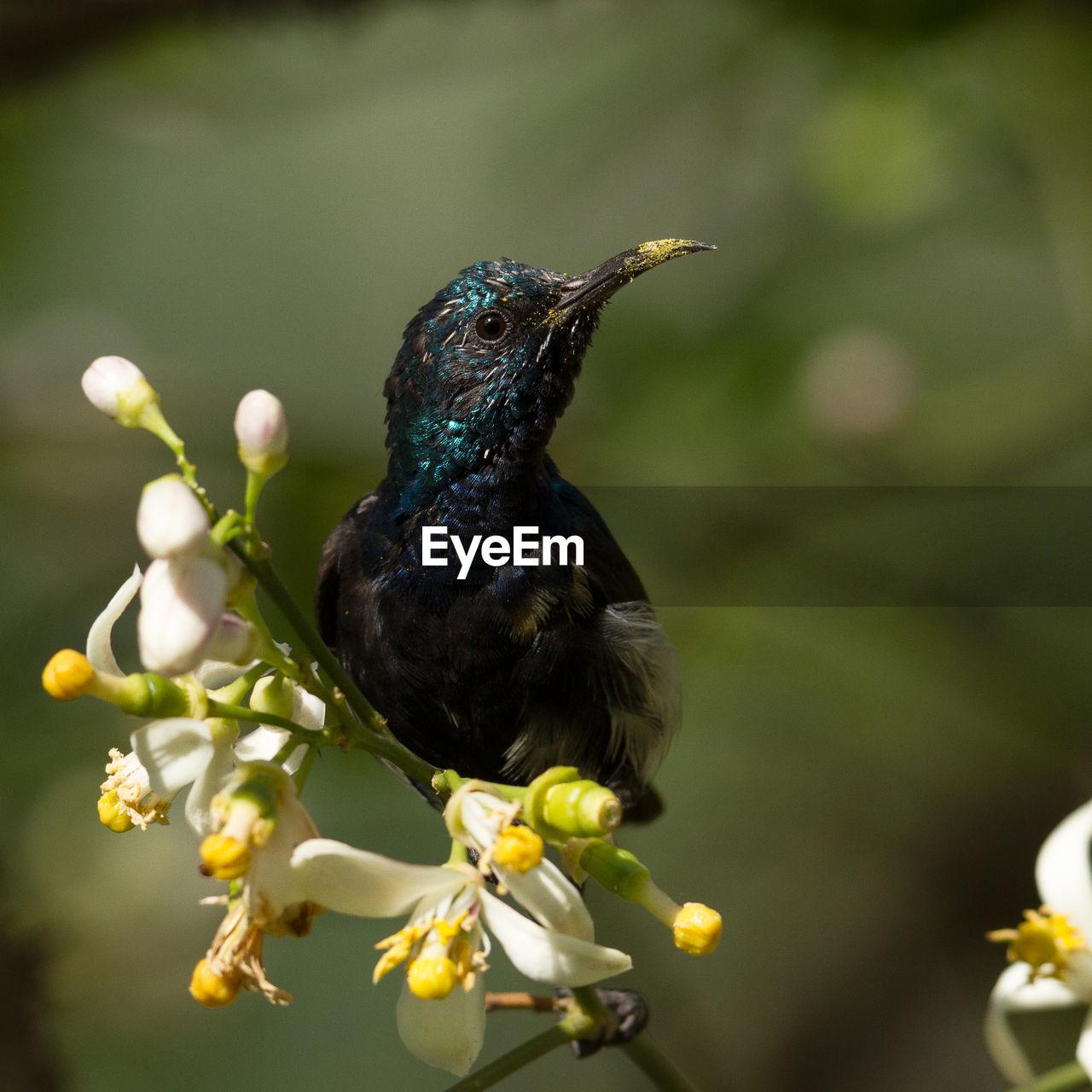 Close-up of sunbird perching on flowers