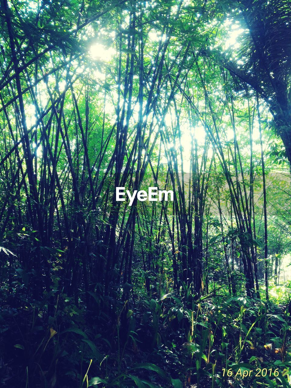 plant, forest, tree, land, growth, tranquility, beauty in nature, nature, sunlight, day, no people, green color, woodland, scenics - nature, tranquil scene, outdoors, non-urban scene, environment, foliage, lush foliage, bamboo - plant, rainforest