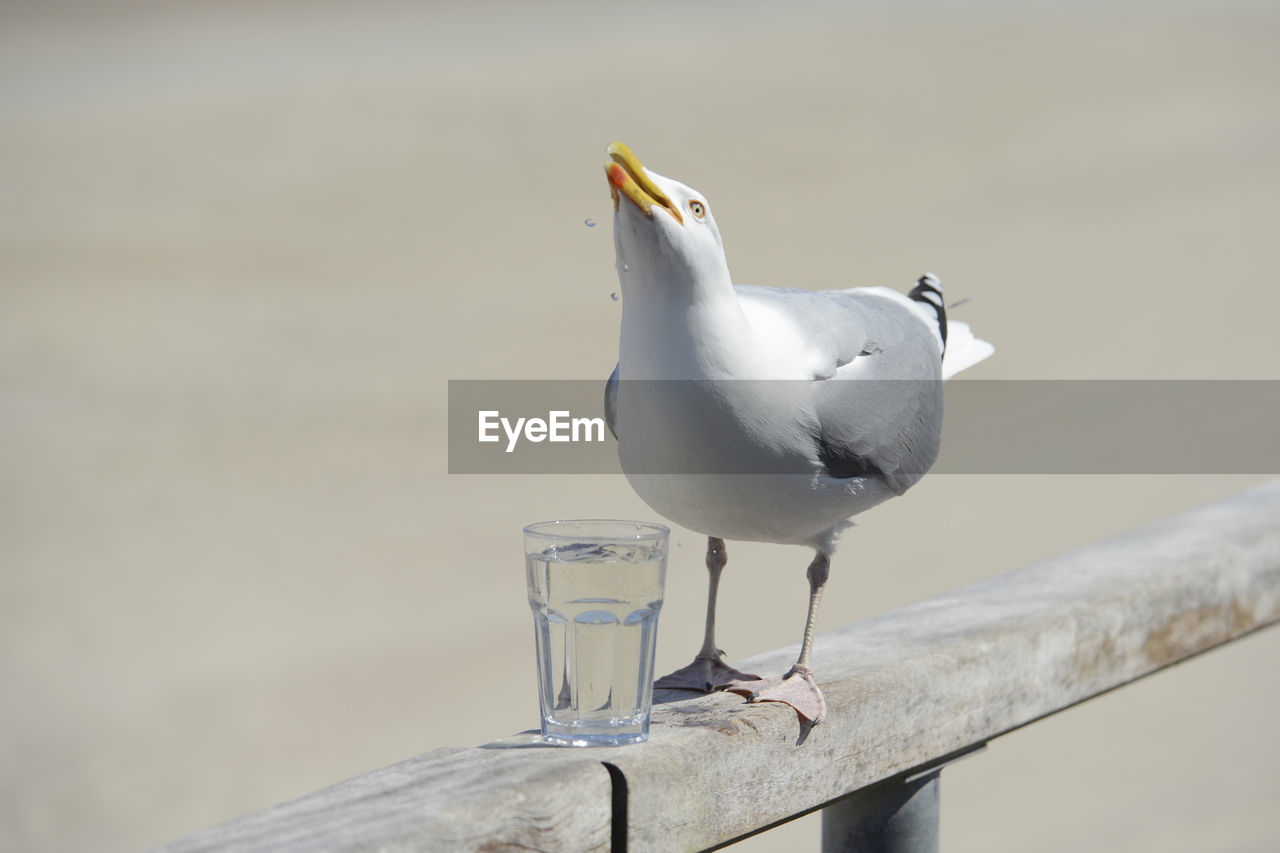 animal, animal themes, bird, animals in the wild, animal wildlife, vertebrate, focus on foreground, day, no people, one animal, close-up, perching, nature, water, outdoors, seagull, white color, black-headed gull, table