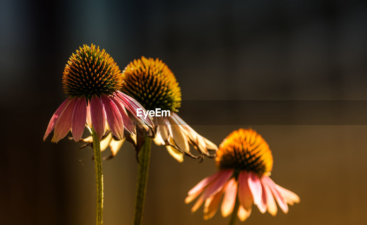 Close-Up Of Eastern Purple Coneflowers Blooming Outdoors