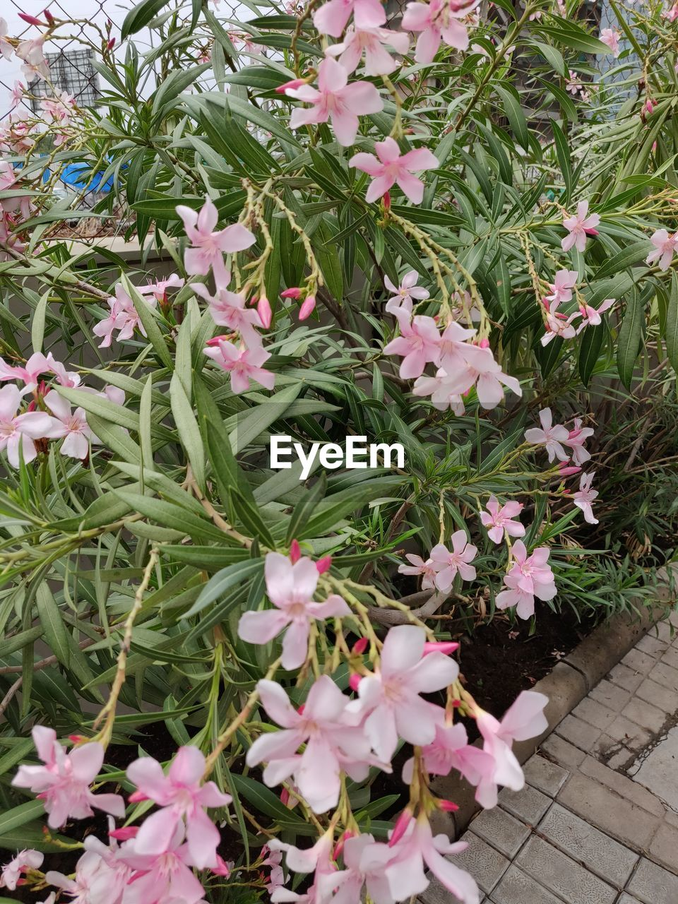 flower, plant, flowering plant, growth, freshness, pink color, beauty in nature, petal, leaf, vulnerability, plant part, fragility, no people, close-up, day, high angle view, nature, white color, green color, outdoors, flower head