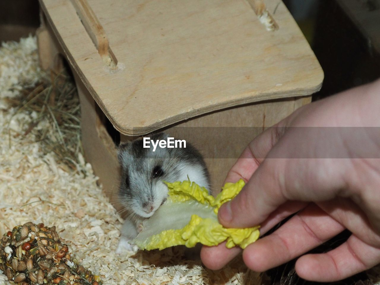 one animal, human hand, hand, mammal, domestic, pets, one person, real people, human body part, domestic animals, holding, vertebrate, eating, unrecognizable person, animal wildlife, rodent, food, finger, pet owner, care